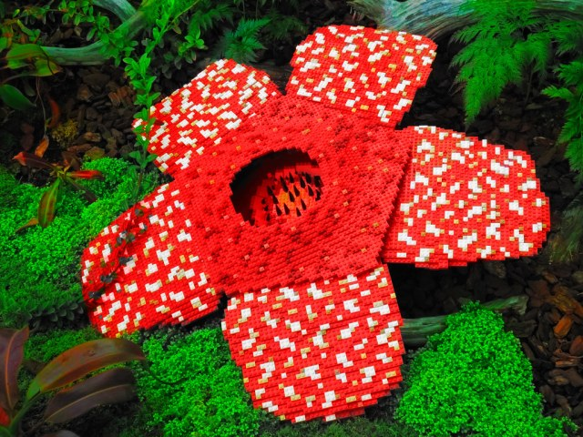 Image result for rafflesia arnoldii