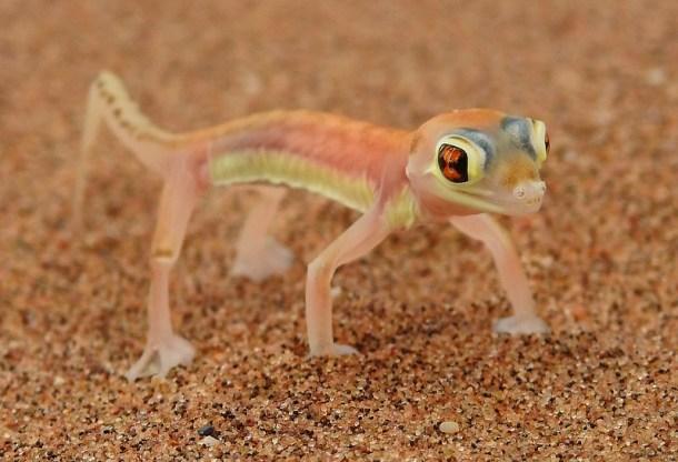 3201 Palmato gecko