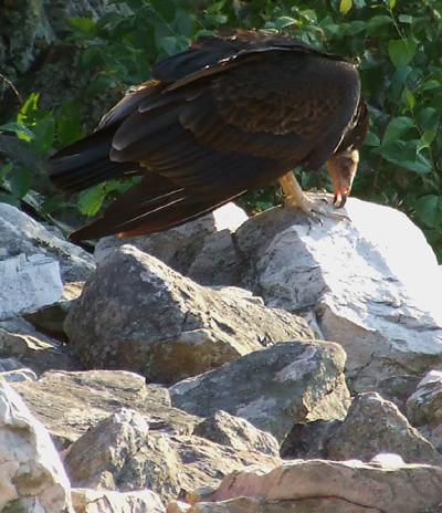 Juvenile turkey vulture cleaning its beak on a rock