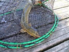 Fånga den hala ålen (Bild lånad från Flickr)