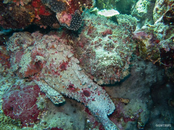Stone Fish, Great Barrier Reef