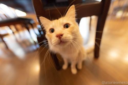 アトリエイエネコ Cat Photographer 40716763424_0c3519353b 1日1猫!CaraCatCafe ダルも忘れるなダル! 1日1猫!  箕面 猫写真 猫 子猫 大阪 初心者 写真 保護猫カフェ 保護猫 スマホ カメラ Kitten Cute cat caracatcafe