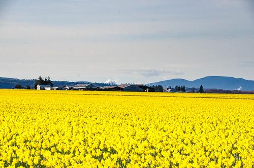 Skagit Daffodils-30