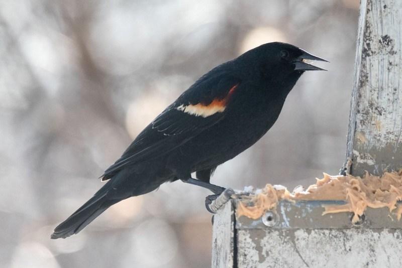 _8501605 Red-winged Blackbird