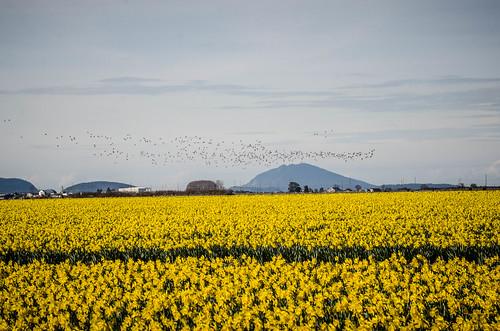 Skagit Daffodils-23
