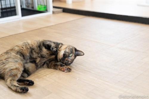 アトリエイエネコ Cat Photographer 39660156800_22638c55fc 1日1猫!保護猫カフェねこんチ 実はオモチャ大好きみいちゃん! 1日1猫!  里親様募集中 猫写真 猫カフェ 猫 子猫 大阪 写真 保護猫カフェねこんチ 保護猫カフェ 保護猫 スマホ サビ猫 カメラ Kitten Cute cat
