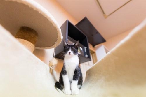 アトリエイエネコ Cat Photographer 40928693112_696bc4a841 1日1猫!保護猫カフェみーちゃ・みーちょ その1 未分類  里親様募集中 猫写真 猫 子猫 大阪 初心者 写真 保護猫カフェ 保護猫 カメラ みーちゃ・みーちょ Kitten Cute cat
