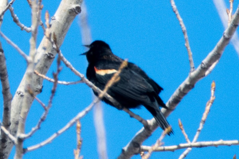 _8501242 Red-winged Blackbird