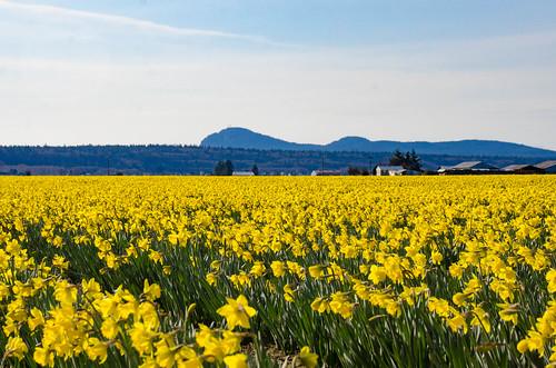 Skagit Daffodils-4