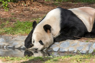 Tian Tian: DC Zoo Walks 15,000 photo