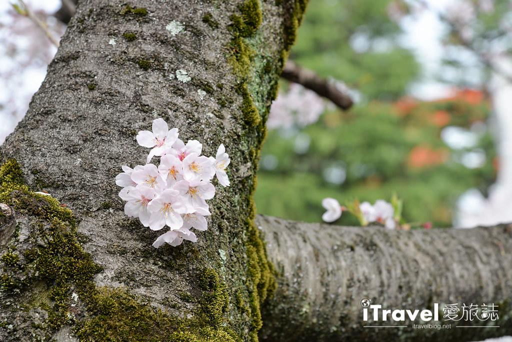 京都赏樱景点 冈崎疏水道 (32)