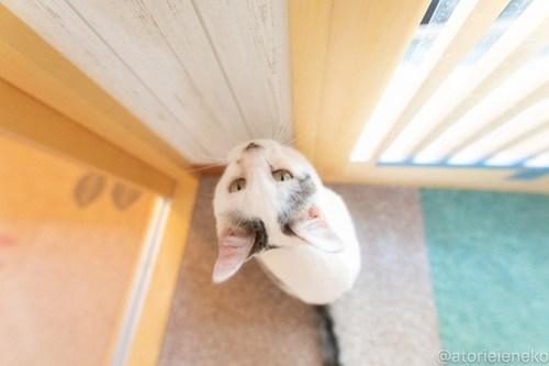 アトリエイエネコ Cat Photographer 27742417978_22297a8bc1 1日1猫!小さな猫カフェ「ペルちゃん」に行ってきた その3♪ 1日1猫!  里親様募集中 猫写真 猫 守口市 子猫 大阪 写真 保護猫カフェ 保護猫 ペルちゃん スマホ Kitten Cute cat