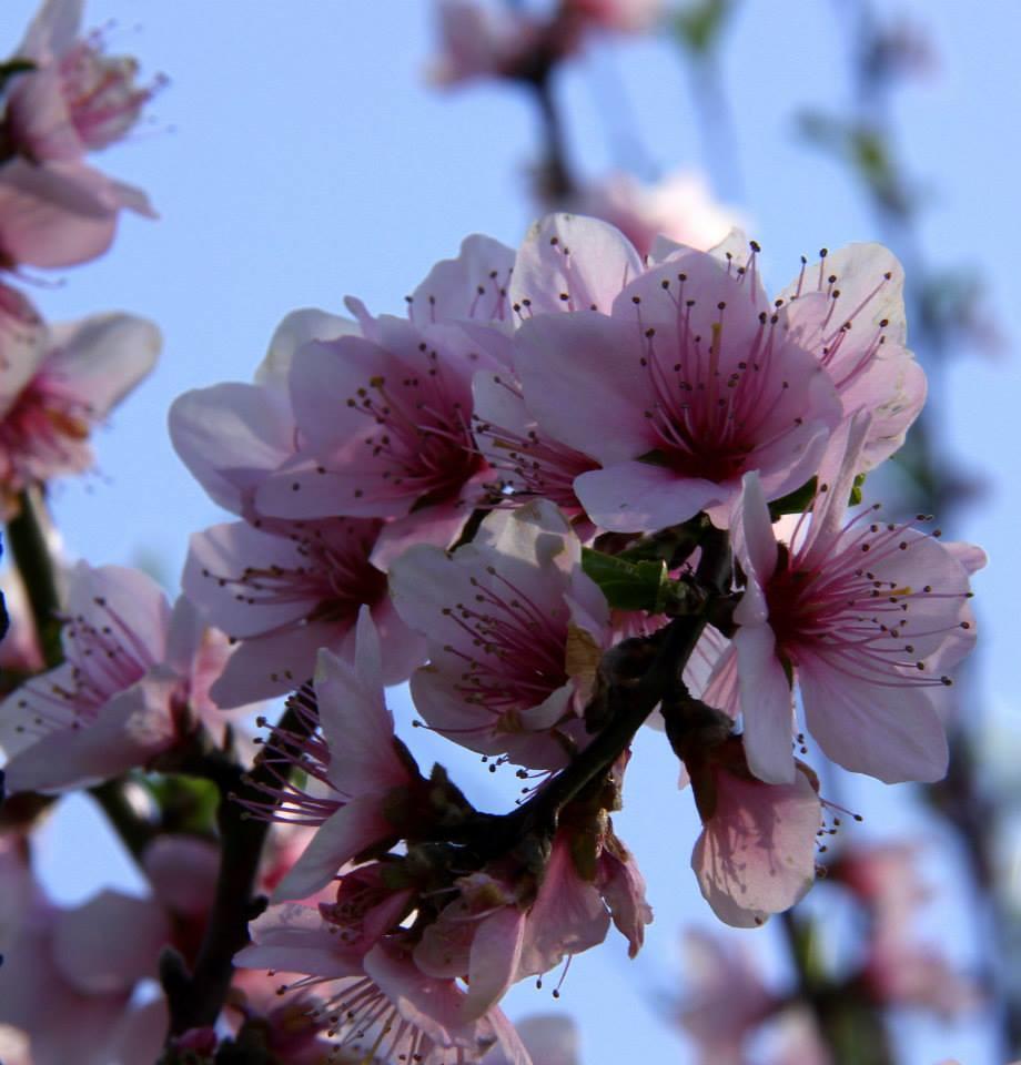 Almond flowers bloom in badam wari
