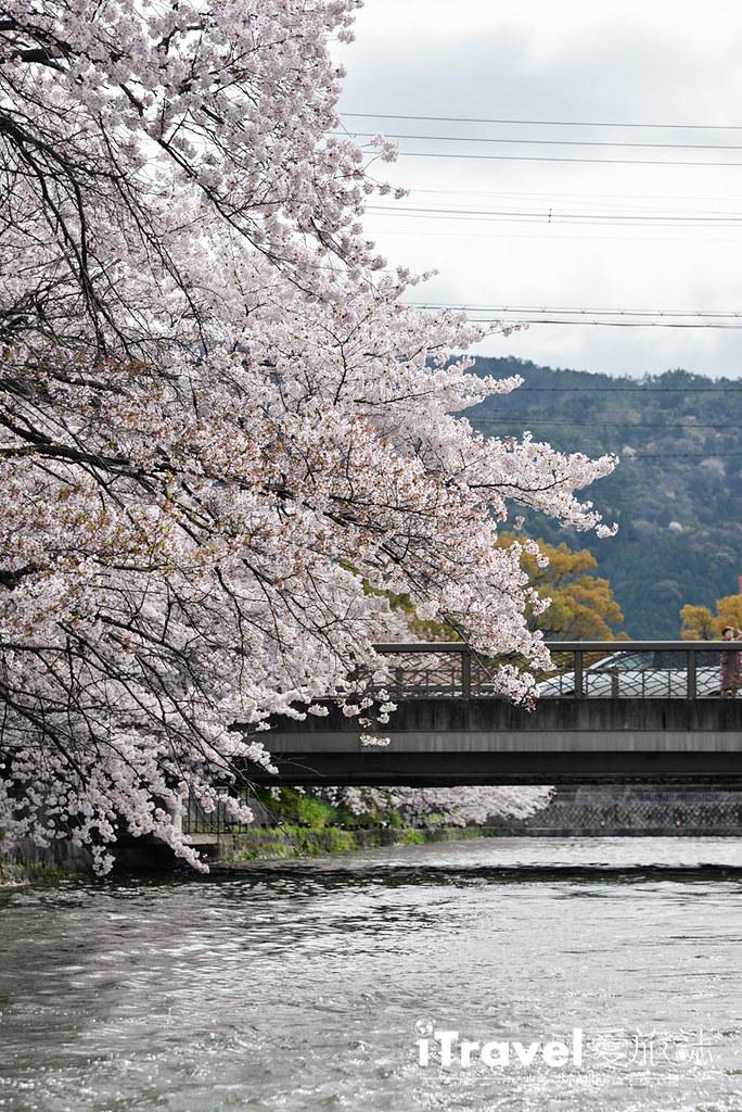 京都赏樱景点 冈崎疏水道 (17)