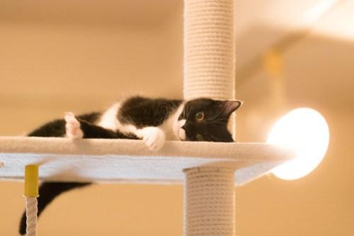 アトリエイエネコ Cat Photographer 40928919992_56940844c6 1日1猫!保護猫カフェみーちゃ・みーちょ その3 1日1猫!  里親様募集中 猫写真 猫 子猫 大阪 初心者 写真 保護猫カフェ 保護猫 ハチワレ カメラ みーちゃ・みーちょ Kitten Cute cat