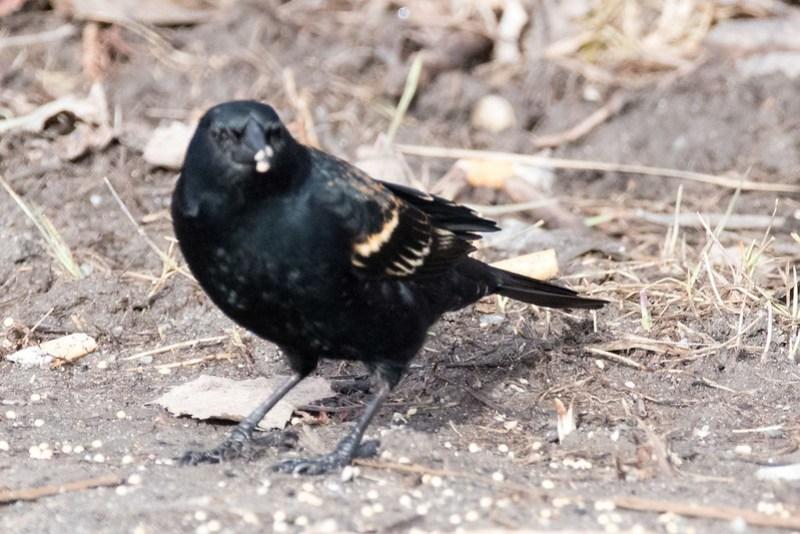_8501311 Red-winged Blackbird