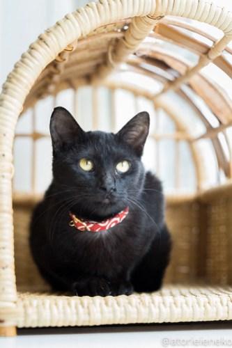 アトリエイエネコ Cat Photographer 40230970844_d0573907b9 1日1猫!高槻ねこのおうち 里親様募集中のあきちゃん♪ 1日1猫!  黒猫 高槻ねこのおうち 里親様募集中 猫写真 猫 子猫 大阪 初心者 写真 保護猫 スマホ カメラ Kitten Cute cat