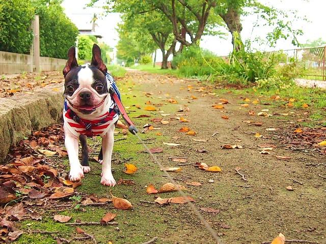 フィラリア予防の時期を守って散歩する犬