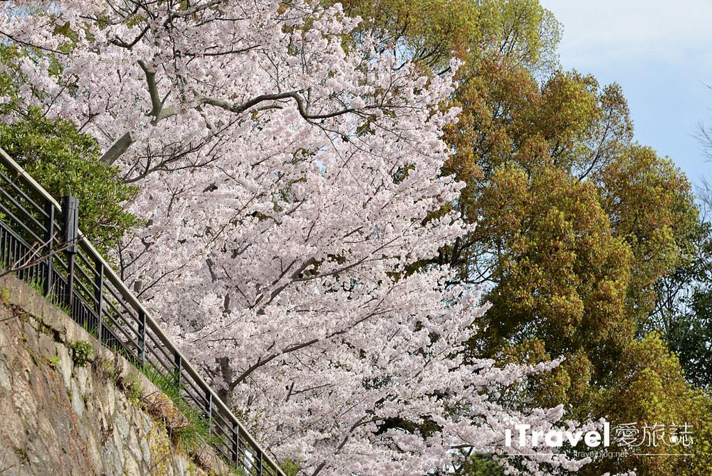 京都赏樱景点 冈崎疏水道 (10)