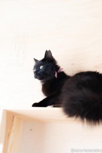 アトリエイエネコ Cat Photographer 41295691341_6025d8ffd1 1日1猫!ニャンとぴあ 里親様募集中の姫子ちゃん♪ 1日1猫!