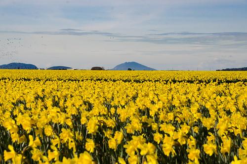 Skagit Daffodils-22