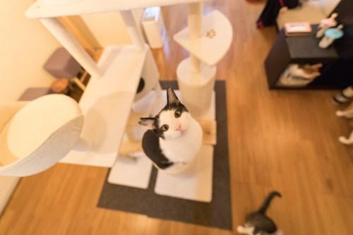 アトリエイエネコ Cat Photographer 40261649104_f29f173c5d 1日1猫!保護猫カフェみーちゃ・みーちょ その3 1日1猫!  里親様募集中 猫写真 猫 子猫 大阪 初心者 写真 保護猫カフェ 保護猫 ハチワレ カメラ みーちゃ・みーちょ Kitten Cute cat