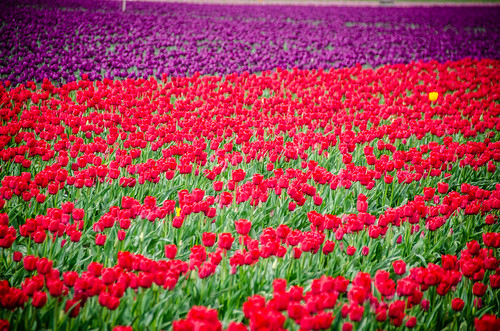 Skagit Valley Tulips-83