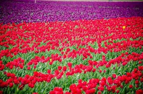 Skagit Valley Tulips-83
