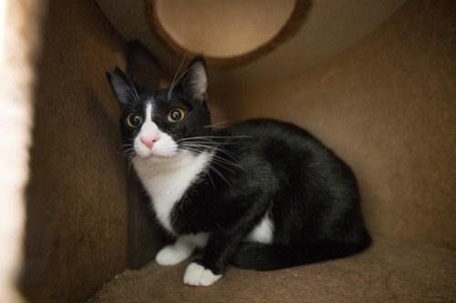 アトリエイエネコ Cat Photographer 40133277824_e948d749c6 1日1猫! 3/10オープン!保護猫カフェけやきさんへ行く(2/3) 1日1猫!  高槻ねこのおうち 里親様募集中 猫写真 猫 子猫 大阪 写真 保護猫カフェけやき 保護猫カフェ 保護猫 スマホ カメラ Kitten Cute cat
