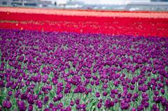 Skagit Valley Tulips-78