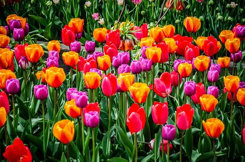 Roozengaarde Tulips-059