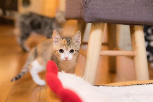 アトリエイエネコ Cat Photographer 40928689592_9e459f9347 1日1猫!保護猫カフェみーちゃ・みーちょ その1 未分類  里親様募集中 猫写真 猫 子猫 大阪 初心者 写真 保護猫カフェ 保護猫 カメラ みーちゃ・みーちょ Kitten Cute cat