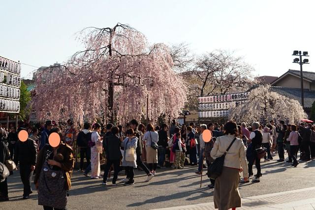 浅草寺 枝垂れ桜