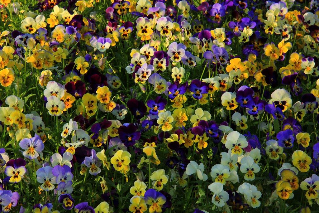 Pansies are colourful flowers