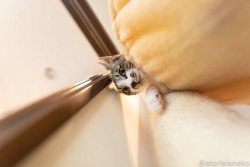 アトリエイエネコ Cat Photographer 40716759244_e8ba7aa669 1日1猫!CaraCatCafe 幸せになるみつこちゃん♪ 1日1猫!  箕面 猫写真 猫カフェ 猫 子猫 大阪 初心者 写真 保護猫カフェ 保護猫 Kitten Cute cat caracatcafe