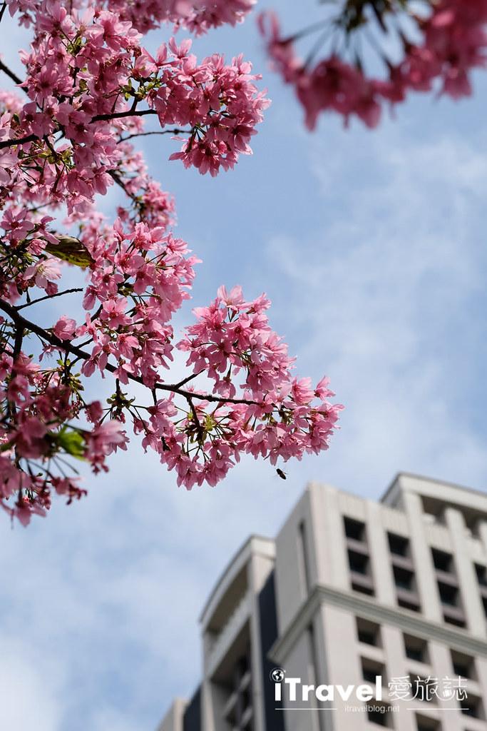 土城赏樱景点 希望之河左岸樱花 (20)