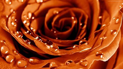 rose-1920x1080-4k-hd-wallpaper-drops-dew-flower-4700