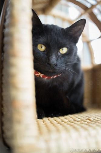 アトリエイエネコ Cat Photographer 40939564761_2b53cf21dd 1日1猫!高槻ねこのおうち 里親様募集中のあきちゃん♪ 1日1猫!  黒猫 高槻ねこのおうち 里親様募集中 猫写真 猫 子猫 大阪 初心者 写真 保護猫 スマホ カメラ Kitten Cute cat