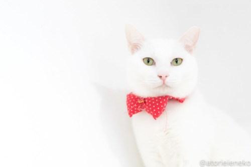 アトリエイエネコ Cat Photographer 26066628287_4087cc8532 1日1猫!高槻ねこのおうち 里親様募集中のゆきちゃん♪ 1日1猫!  高槻ねこのおうち 里親様募集中 白猫 猫写真 猫 子猫 大阪 初心者 写真 保護猫 スマホ カメラ Kitten Cute cat