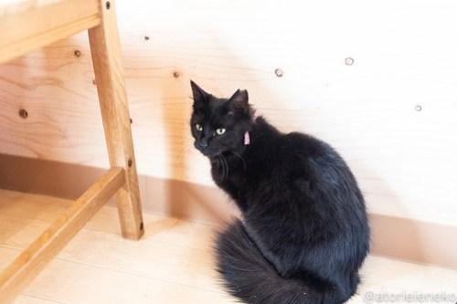 アトリエイエネコ Cat Photographer 39486378540_dcd85c539e 1日1猫!ニャンとぴあ 里親様募集中の姫子ちゃん♪ 1日1猫!