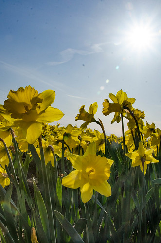 Skagit Daffodils-9