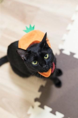 アトリエイエネコ Cat Photographer 40799828012_489fe11af3 1日1猫! 3/10オープン!保護猫カフェけやきさんへ行く(2/3) 1日1猫!  高槻ねこのおうち 里親様募集中 猫写真 猫 子猫 大阪 写真 保護猫カフェけやき 保護猫カフェ 保護猫 スマホ カメラ Kitten Cute cat