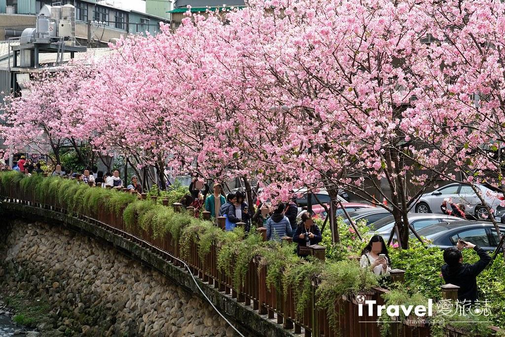 土城赏樱景点 希望之河左岸樱花 (24)