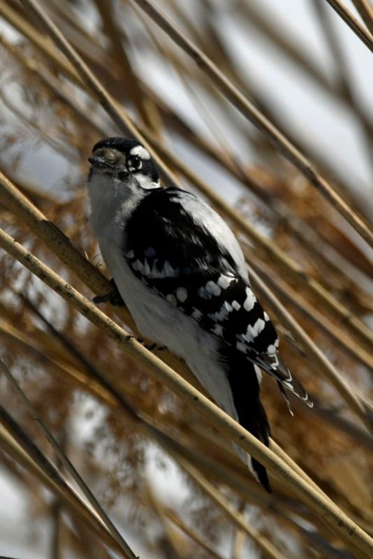 _8501280 Downy Woodpecker