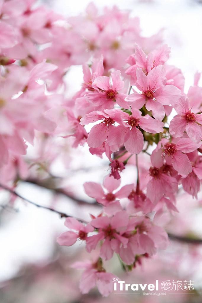 土城赏樱景点 希望之河左岸樱花 (9)