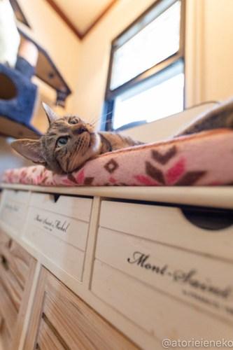 アトリエイエネコ Cat Photographer 27742419958_2e64c415d3 1日1猫!小さな猫カフェ「ペルちゃん」に行ってきた その1♪ 1日1猫!  里親様募集中 猫写真 猫カフェ 猫 守口市 子猫 大阪 写真 保護猫カフェ 保護猫 ペルちゃん スマホ カメラ Kitten Cute cat