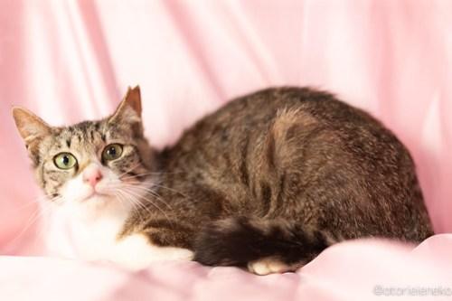 アトリエイエネコ Cat Photographer 42030332382_859a36ea84 1日1猫!おおさかねこ倶楽部 新入りのちあき&イチロー♪ 1日1猫!  里親様募集中 猫写真 猫カフェ 猫 子猫 大阪 初心者 写真 保護猫 カメラ おおさかねこ倶楽部 Kitten Cute cat