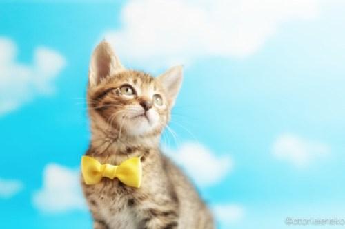 アトリエイエネコ Cat Photographer 41867918211_659687ffd8 1日1猫!ニャンとぴあキャッツ 里親様募集中のタイくん♪ 1日1猫!  里親様募集中 猫写真 猫カフェ 猫 子猫 大阪 初心者 写真 保護猫カフェ 保護猫 ニャンとぴあ スマホ キジ猫 カメラ おおさかねこ倶楽部 Kitten Cute cat