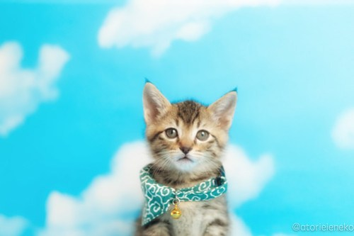 アトリエイエネコ Cat Photographer 41824865002_692fcf405b 1日1猫!ニャンとぴあキャッツ 里親様募集中のカツオくん♪ 1日1猫!  里親様募集中 猫写真 猫 子猫 大阪 写真 保護猫カフェ 保護猫 ニャンとぴあ スマホ キジ猫 カメラ おおさかねこ倶楽部 Kitten Cute cat