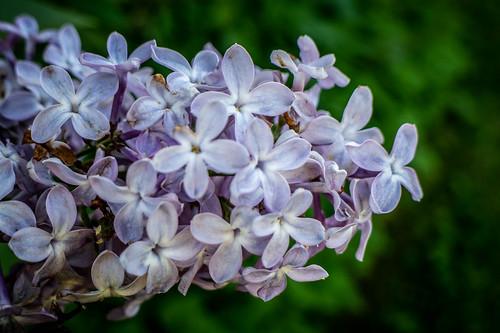 Samish Island Lilacs-003